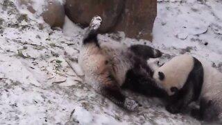 Playful giant pandas enjoy first snowfall in China