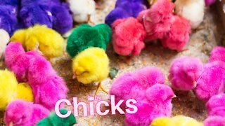 Baby Chicks Chirping Sounds / Cute Chicks