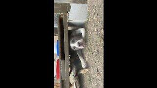 Dog gets stuck under a chicken coup