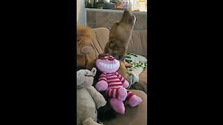 Howling dog sings his heart out after receiving new toys
