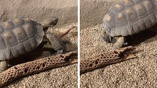 Unfortunate Lizard Has Head Stepped On By Passing Tortoise