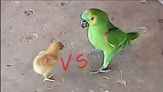 Parrot vs chick look what happened!