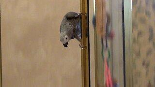 Daring parrot demonstrates how to slide down a shower door