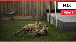 An entire family of 'cute' foxes move into garden