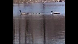 Encounter a family of geese on my daily walk