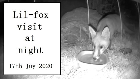 Lil-fox is back for another night visit at Our Wildlife Oasis