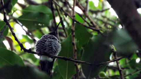 Cute Fluffy Hummingbird