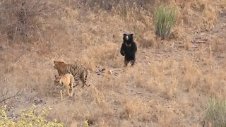 Bear VS Tiger Fight Moments
