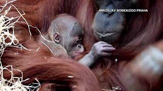 Prague Zoo welcomes baby orangutan
