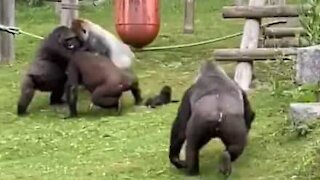 Gorilla rescues baby gorilla from fight