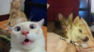 Hilarious Cat Videos - TRY NOT TO LAUGH!