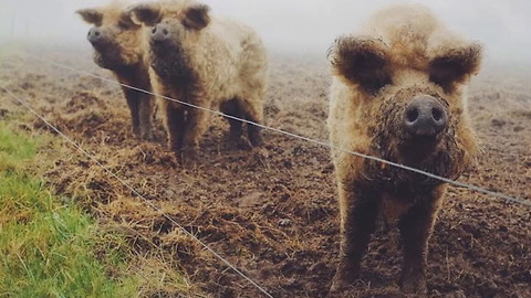 Mangalitsa Pigs Are Like Little Sheep