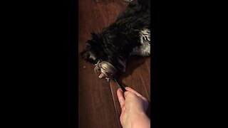 Unbelievably spoiled pup eats dinner lying down