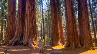 Largest Trees In the World | Camping Adventure