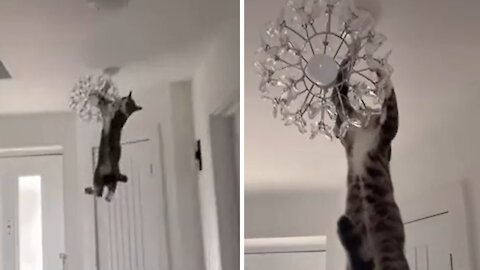 Crazy cat hangs & swings from chandelier