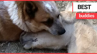 Rescue dog is best buddies with an orphaned baby horse