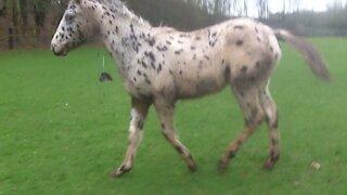 Funny Appaloosa Horse fooling around
