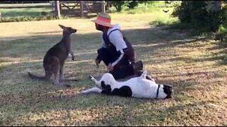 Denne søte kenguruen tror den er en hund