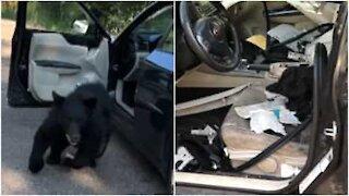 Orso invade un'auto negli USA e la distrugge!