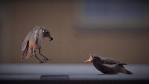 Breathtaking footage of mama bird feeding her chick
