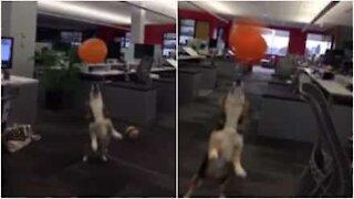 Denne corgien elsker å leke med ballonger