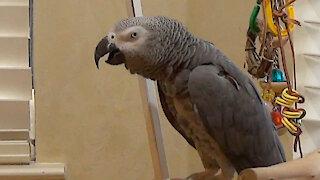 Demanding parrot insists that his owner be quiet