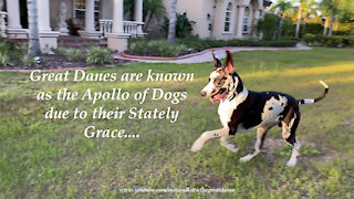 Funny Great Danes Love Running And Rolling With Their Jolly Balls
