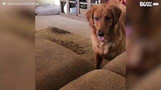 Cadela mergulha no sofá para apanhar bola