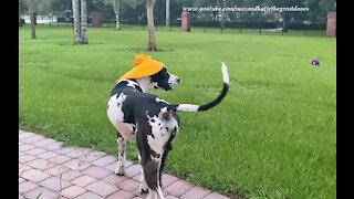 Great Dane Has Fun Playing With His Rain Hat