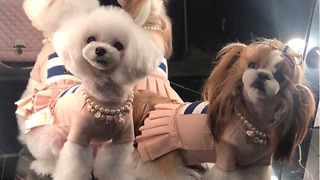 Respectful Korean dogs politely bow to their guests