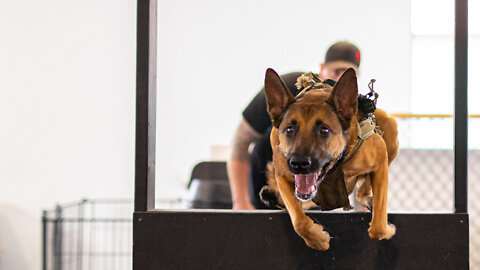 Belgian Malinois - The Guard Dogs Trained To Military Standards | BIG DOGZ