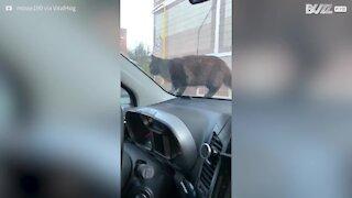Gato assusta-se com buzina!