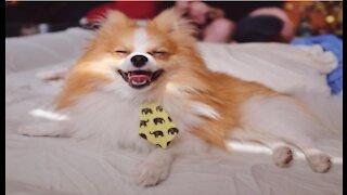 Mini Pomeranian - Adorable And Cute Funny Animals Videos