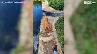 Cães adoráveis não conseguem saltar riacho