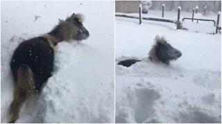 Ce cheval adore jouer dans la neige
