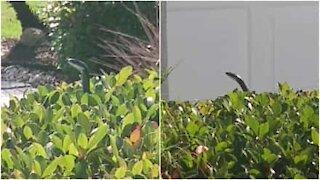 Cobra, ninja degli alberi!