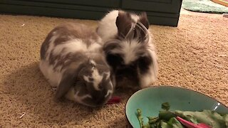 Bunny rabbits don't know how to share