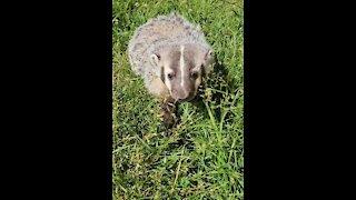 Adorable baby badger curiously follows the camera