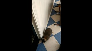 Rabbit chases dog down hallway