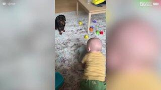 Amizade amorosa entre cão e bebé