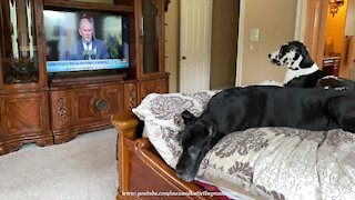 Take A Moment & Remember Loved Ones On Sept 11 With Grateful Great Danes