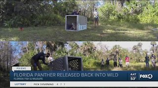 Panther successfully released