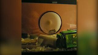 Hamster on spinning wheel