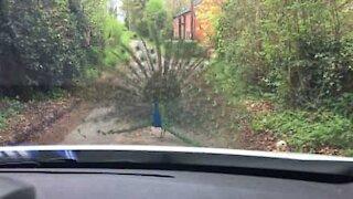 Pavone blocca la strada con la sua grande coda