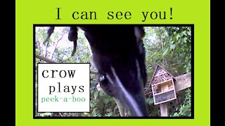 I can see you! crow playing peek-a-boo