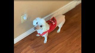 Devoted senior dog joins his owner walking laps during lockdown