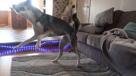 Bored Husky Entertains Herself With Broken Toy