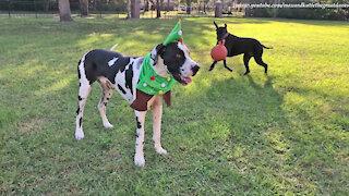 Dog Elf Costume Survives Funny Great Dane Test Run