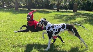Great Danes have fun in their surf 'n turf Halloween costumes
