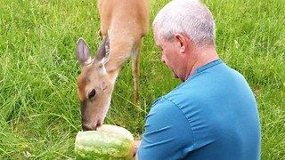Wild deer thoroughly enjoys being hand fed watermelon